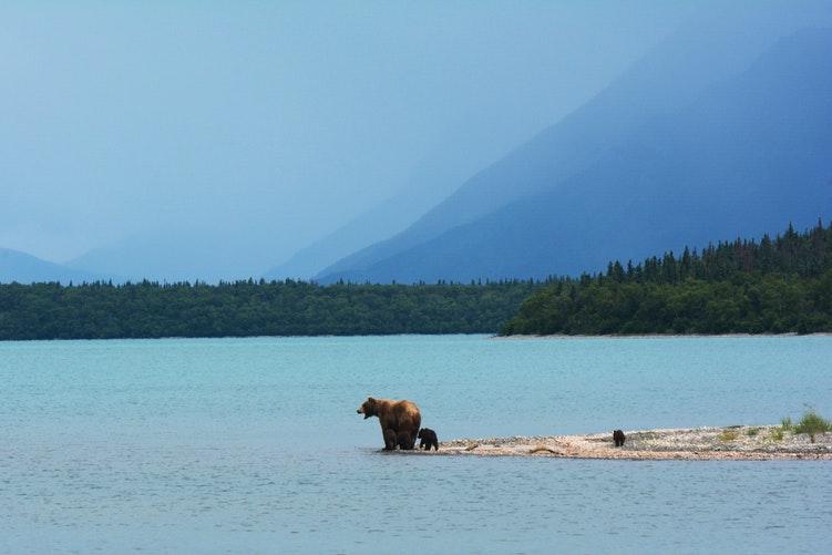 A grizzly bear and cubs on the shore of an Alaskan lake