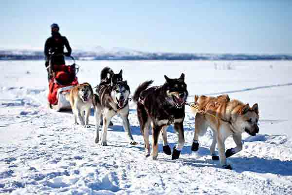 Alaskan Dog Sledding