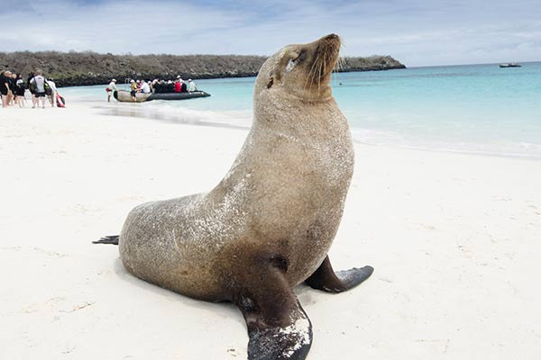Fur Seal in Galapagos