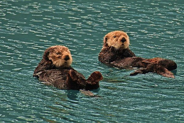 Whittier Sea Otters